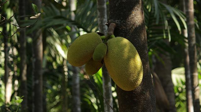jackfruit na stromě.jpg